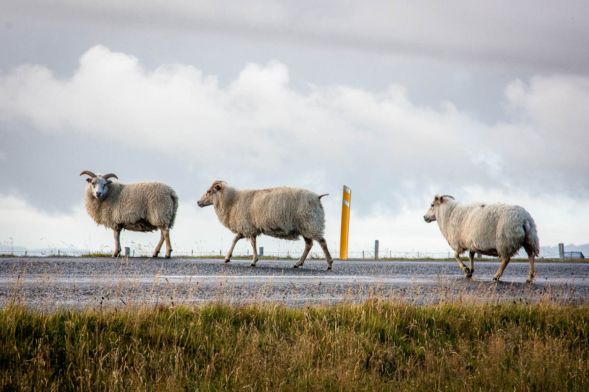 Iceland sheep everywhere