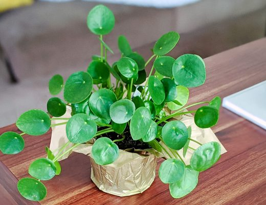 pretty pilea peperomioides plant