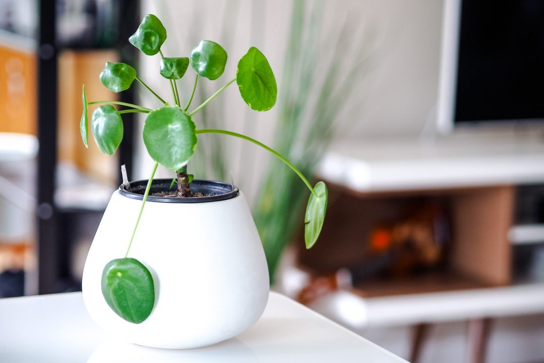 Chinese money plant, Pilea peperomioides