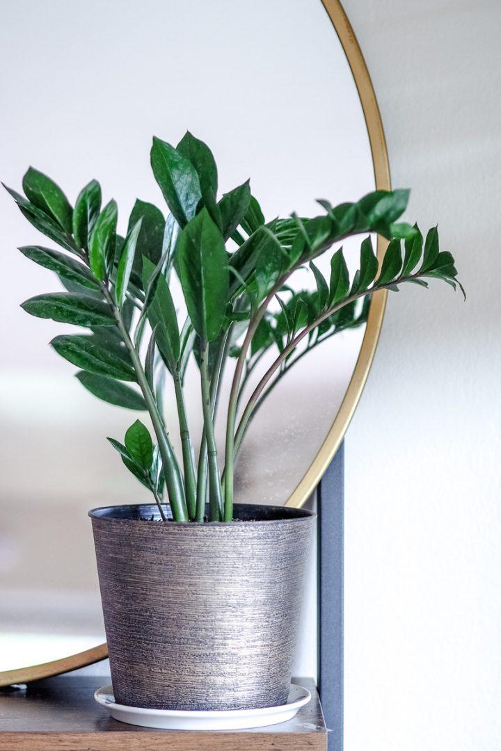 ZZ plant, Zamioculcas Zamiifolia