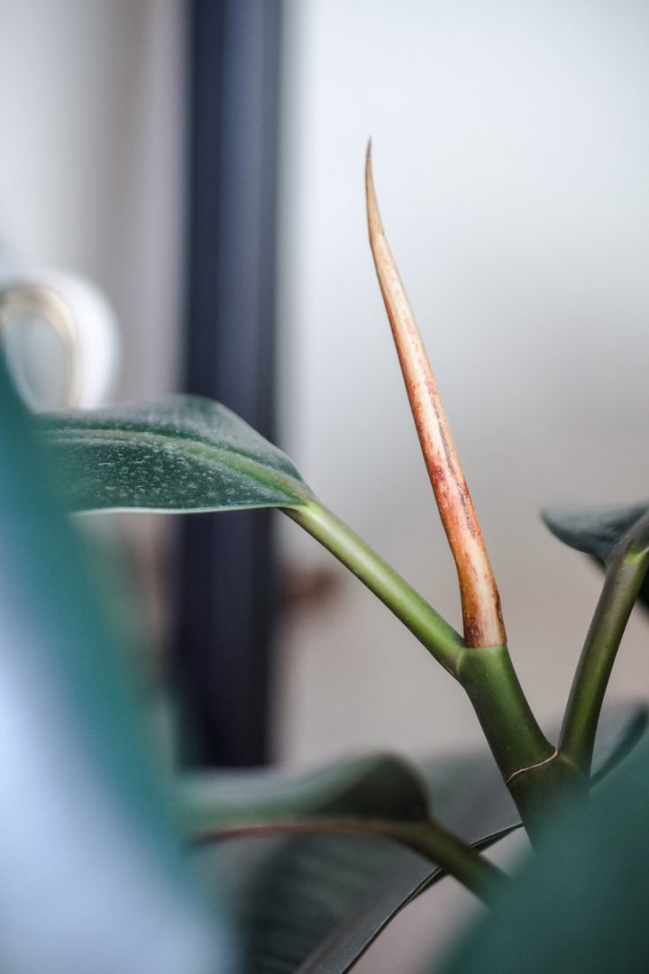 new growth on rubber plant
