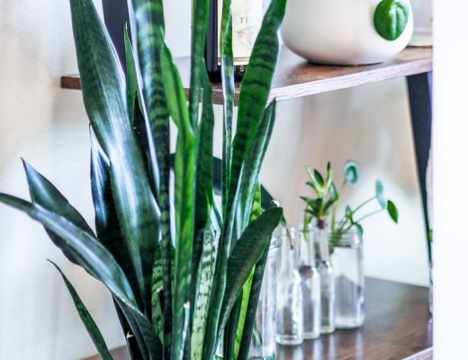 Snake plant home decor