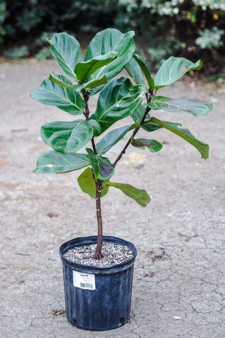 costco fiddle leaf fig